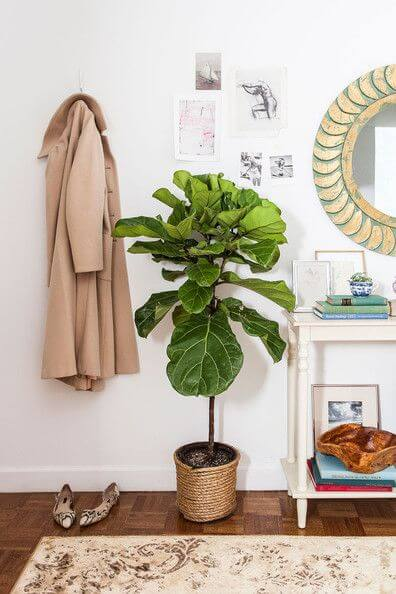 fiddleleaffig10 2